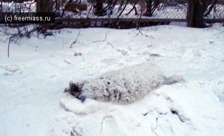 Администрация Миасса просит извинения за собачью бойню