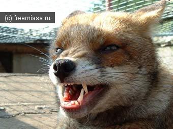 В Миассе стоит опасаться не только клещей, но и бешеных лис.