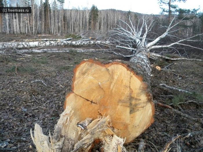 лес,деревья,вырубка,пятерочка,в миассе,экология,зеленые,новости миасса,миасс,город растет,миасс расширяется,строительство храма,машгородок