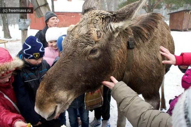 Лосиха Чебаркуль,Новости Миасс,Лосиха Дарена,Миасс ру
